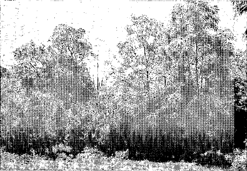 Figure 4. An agroforestry garden with durian (on the left side) and TOO~ZQ sineitsis (on the right side) as the overstorey species and nutmeg as the understorey species. (Photo: G. Michon)