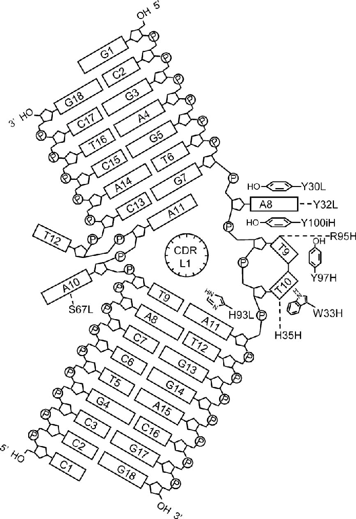 figure 5 from structure of a double stranded dna 6 4 photoproduct  figure 5 schematic representation of the dna structure a8 and t9 6 4
