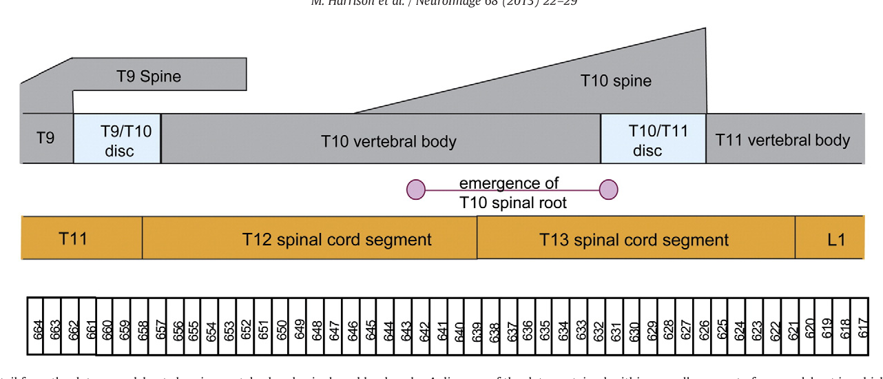 Vertebral Landmarks For The Identification Of Spinal Cord Segments
