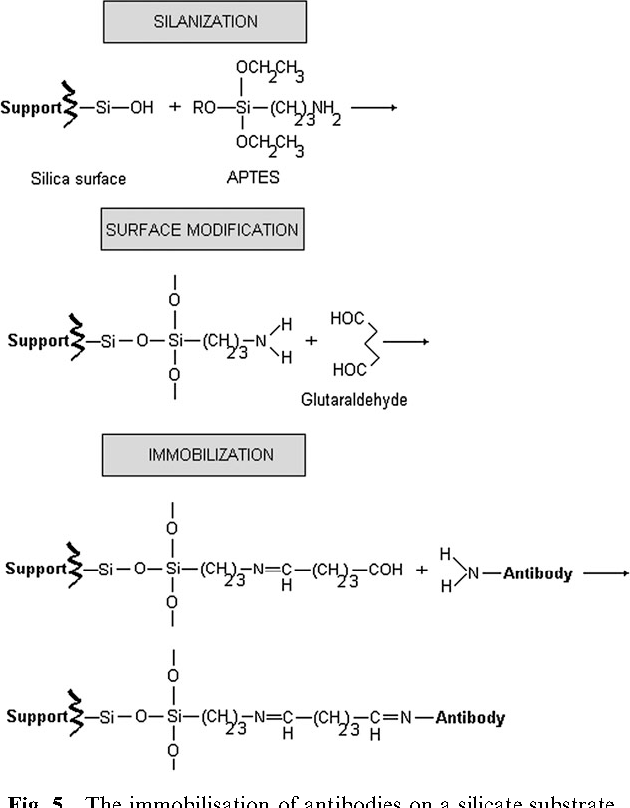Fig. 5 The immobilisation of antibodies on a silicate substrate.