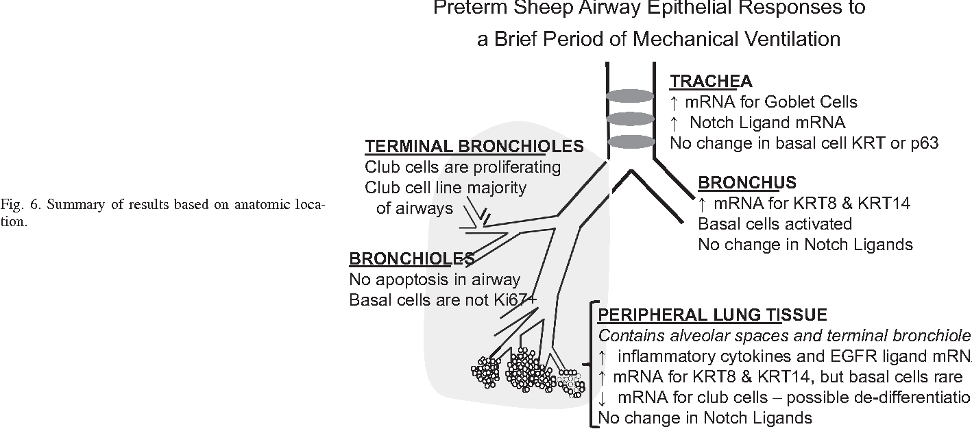 Brief Mechanical Ventilation Causes Differential Epithelial Repair