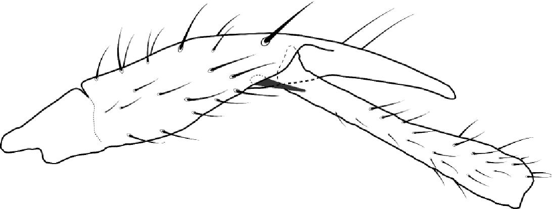 FIGURE 4. Enicoscolus brachycephalus, male, front leg.