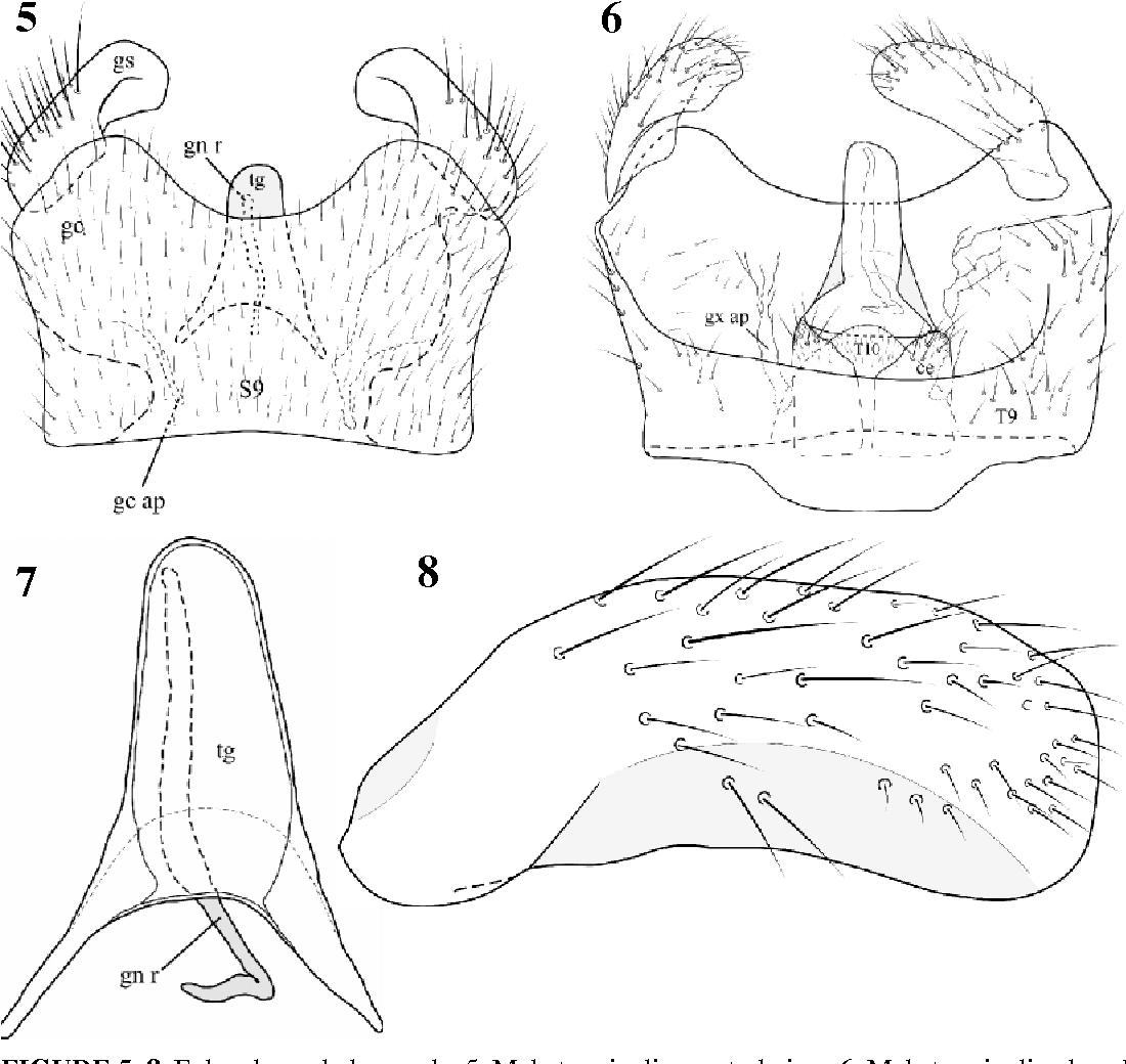 FIGURE 5–8. E. brachycephalus, male. 5. Male terminalia, ventral view. 6. Male terminalia, dorsal view. 7. Tegmen and genital rod. 8. Gonostyle. Abbreviations: ce, cercus; gc, gonocoxite; gs, gonostyle; gn r, genital rod; gx ap, gonocoxal apodeme; S9, sternite 9; T9, tergite 9; tg, tegmen.