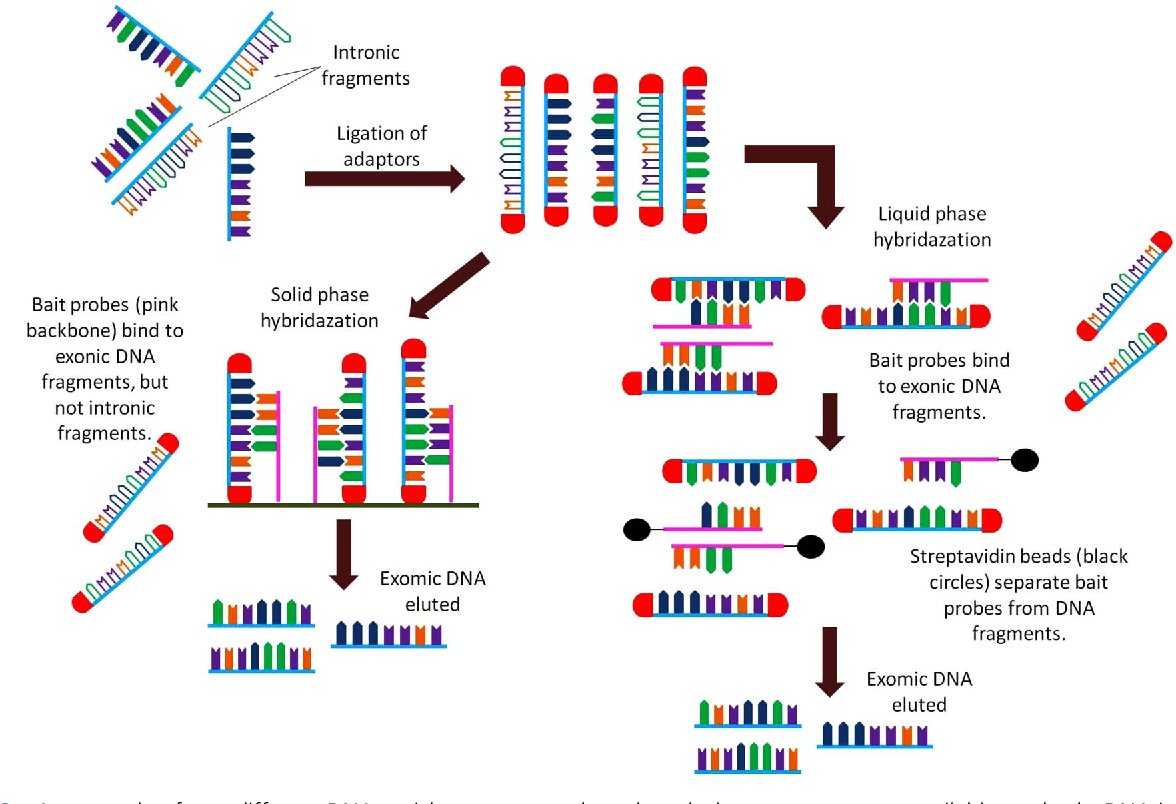 Figure 2 From Exome Sequencing How To Understand It Semantic Scholar