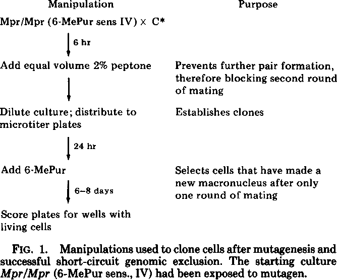 FIG. 1. Manipulations used to clone cells after mutagenesis and successful short-circuit genomic exclusion. The starting culture Mpr/Mpr (6-MePur sens., IV) had been exposed to mutagen.