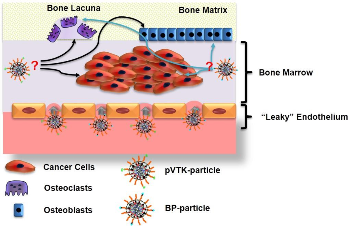 Figure 4.1 The hypothesized M-pVTK and M-BP nanomedicine-based therapies to modulate cancer cells in bone microenvironment.