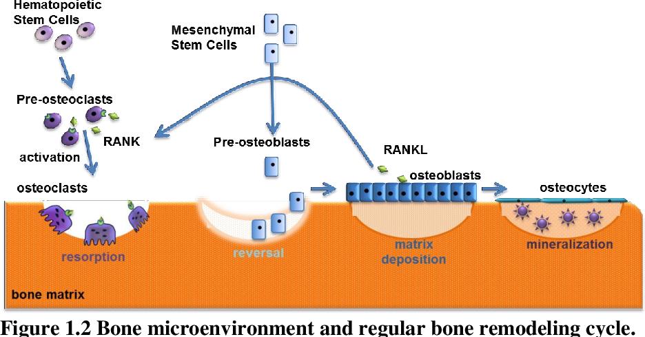 Figure 1.2 Bone microenvironment and regular bone remodeling cycle.