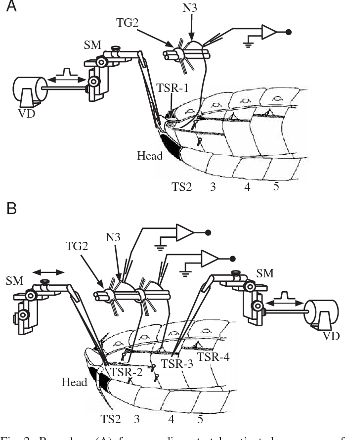 Functional Organisation Of Anterior Thoracic Stretch Receptors In