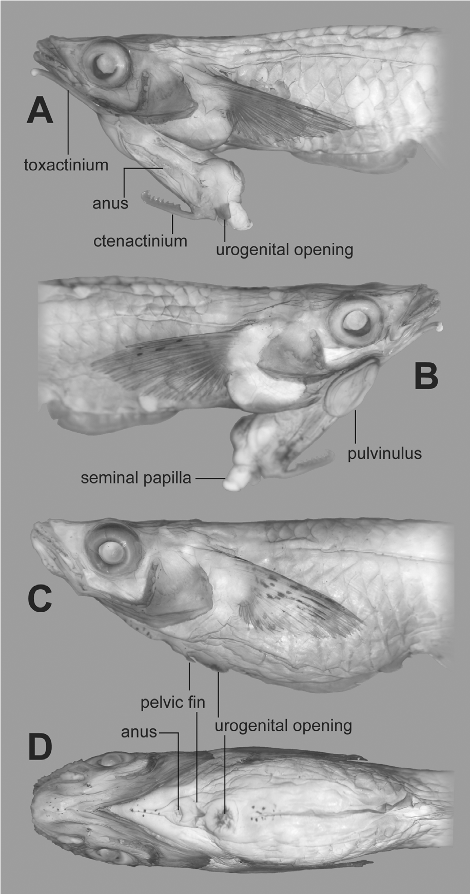 Phallostethus cuulong fish
