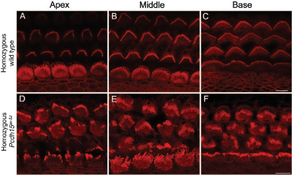 FIGURE 3. Images of inner ear hair cells from C57BL/6J and Pcdh15av-5J homozygous P5 mice. (A–F) Rhodamine-phalloidin staining of stereocilia of outer and inner hair cells of the organ of Corti. (A–C) C57BL/6J apical (A), middle (B), and basal (C) cochlear turn of the organ of Corti shows V-shaped stereocilia bundles in the three rows of outer hair cells. Homozygous mutant apical (D), middle (E), and basal (F) cochlear turn of the organ of Corti show disorganization of stereocilia hair bundles in all four rows of hair cells. Scale bars, 5 m.