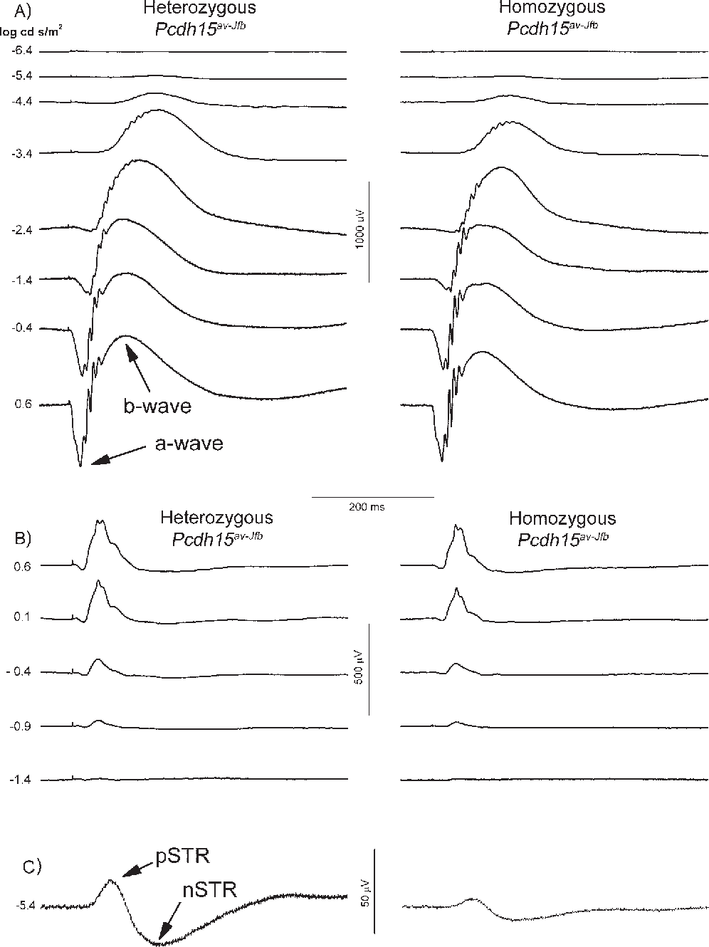 FIGURE 4. Electroretinogram (ERG) waveforms recorded from a representative heterozygote and homozygous Pcdh15av-Jfb 5-week-old mouse. (A) Scotopic response; (B) photopic response; (C) STR from averaged traces (n 3, 4) at 5.4 log cd s/m2.