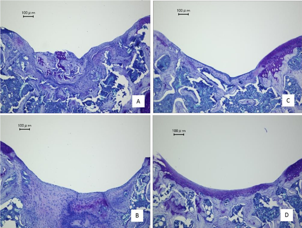 Fig. 4. Cartilage repair by iPS cell transplantation. Knee tissue sections stained with toluidine blue show the cartilage defect in a sham-operated animal at (A) 4 and (C) 12 weeks after the procedure. Representative images of cartilage into which iPS cells were transplanted at (B) 4 and (D) 12 weeks after the procedure are shown. Scale bar = 100 μm.