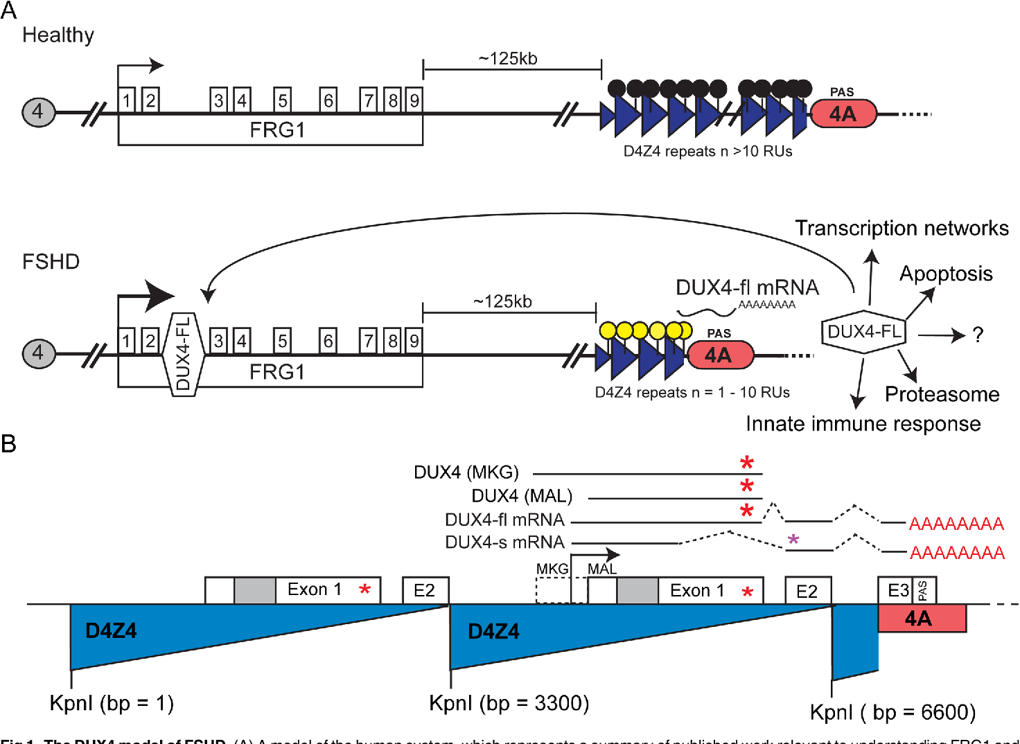 Figure 1 from Transgenic Drosophila for Investigating DUX4