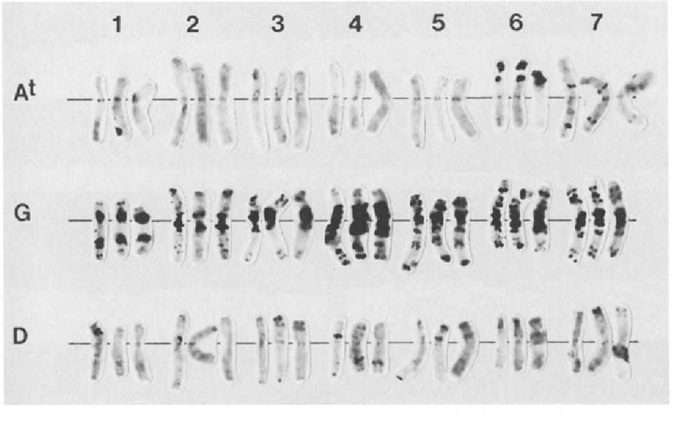 Cytogenetic investigation of Triticum timopheevii (Zhuk ) Zhuk  and