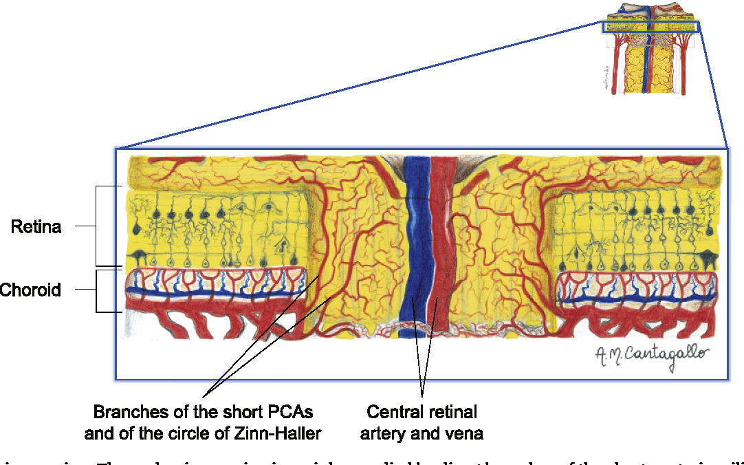 Autoregulation And Neurovascular Coupling In The Optic Nerve Head