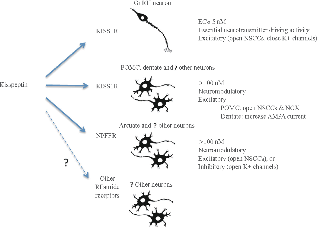 Kisspeptin regulation of neuronal activity throughout the central figure 2 ccuart Image collections