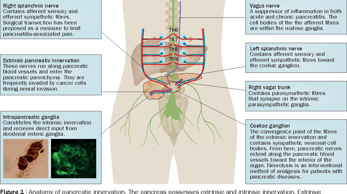Neural plasticity in pancreatitis and pancreatic cancer - Semantic ...