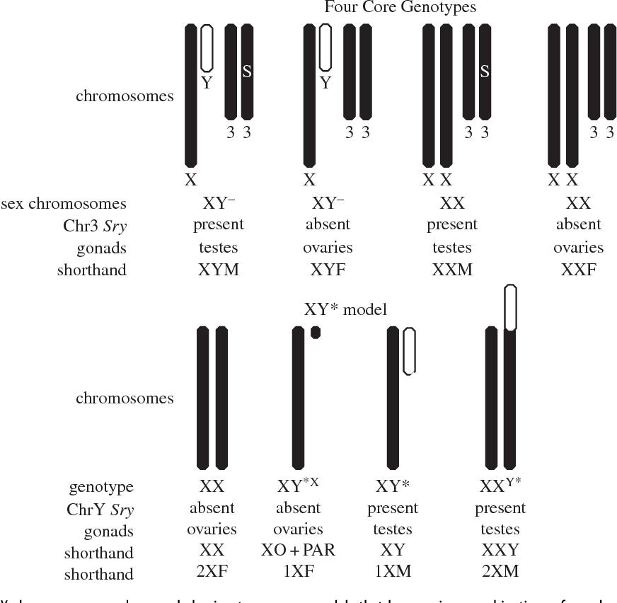 Core sex regulation x chromosome