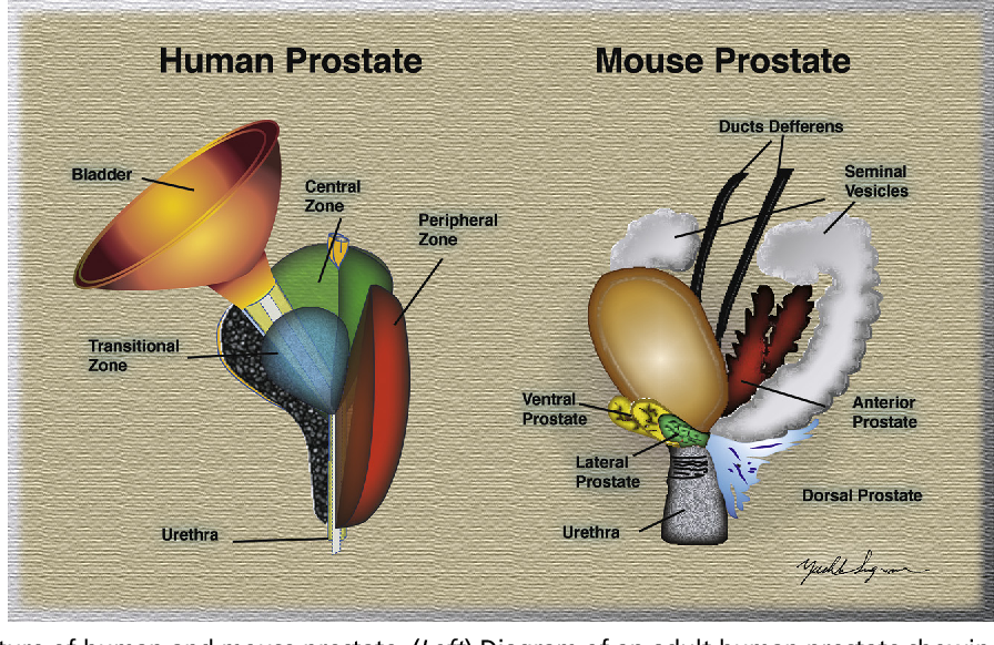 Review of Prostate Anatomy and Embryology and the Etiology of Benign ...