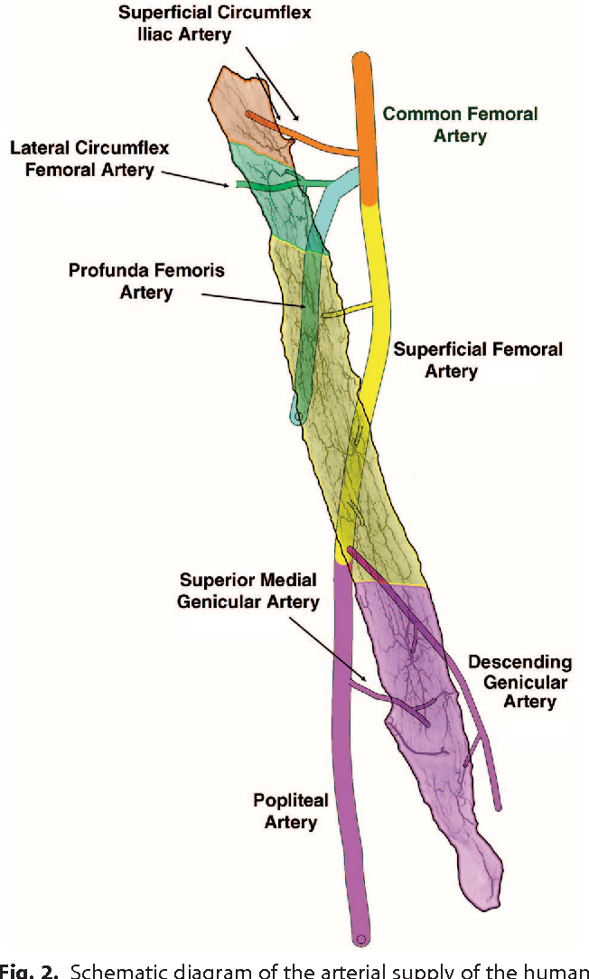 Neurovascular Anatomy Of Sartorius Muscle Flaps Implications For