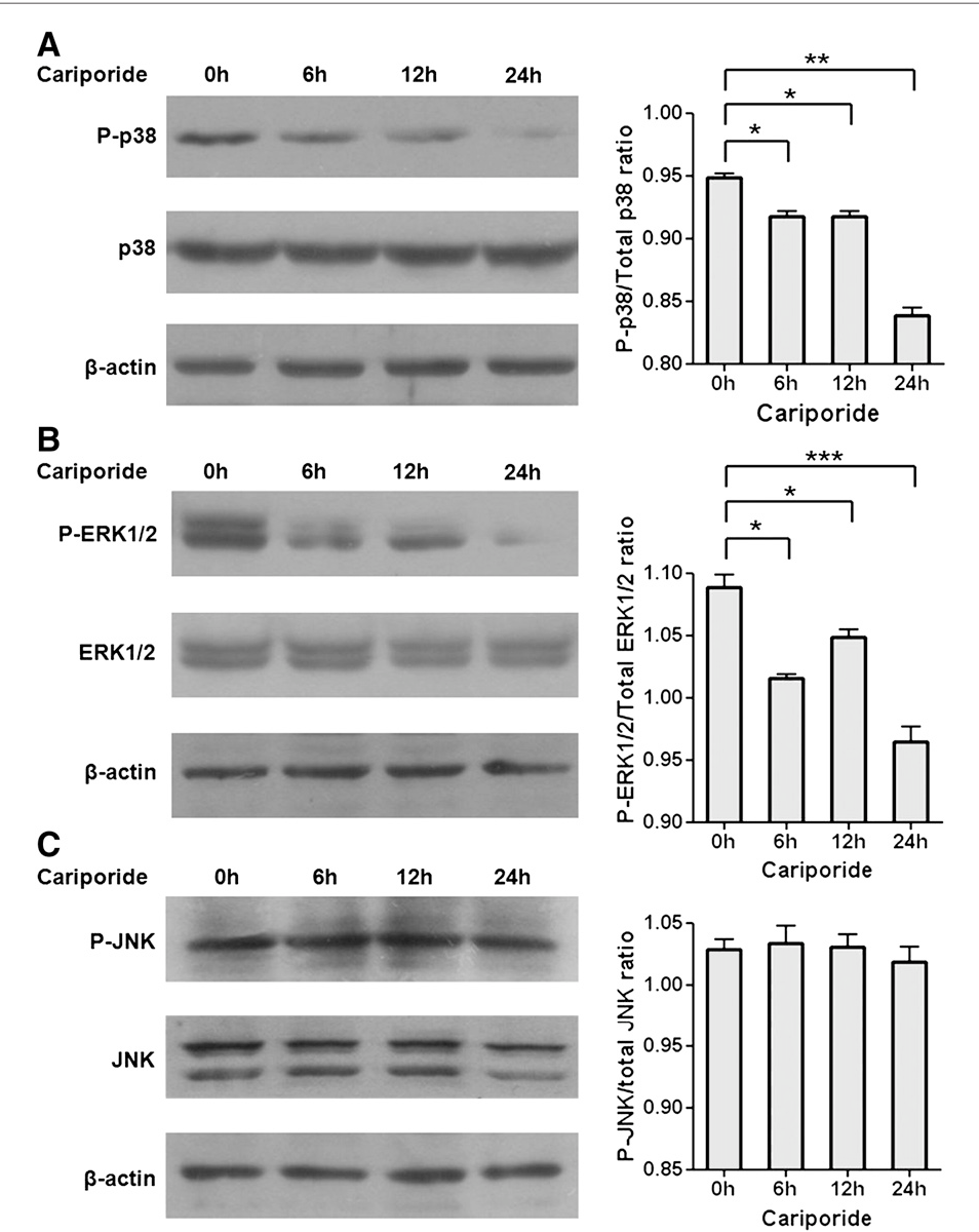 Fig. 5 – Effect of Cariporide on MAPK signaling pathway. MDA-MB-231 cells were treated with (10 μM) Cariporide for 0 h, 6 h, 12 h and 24 h, the phosphorylated levels of (A) p38 MAPK, (B) ERK1/2 and (C) JNK were determined by Western blotting. The data represent the mean±SD of three independent experiments. *P<0.05, **P<0.01, ***P<0.001.