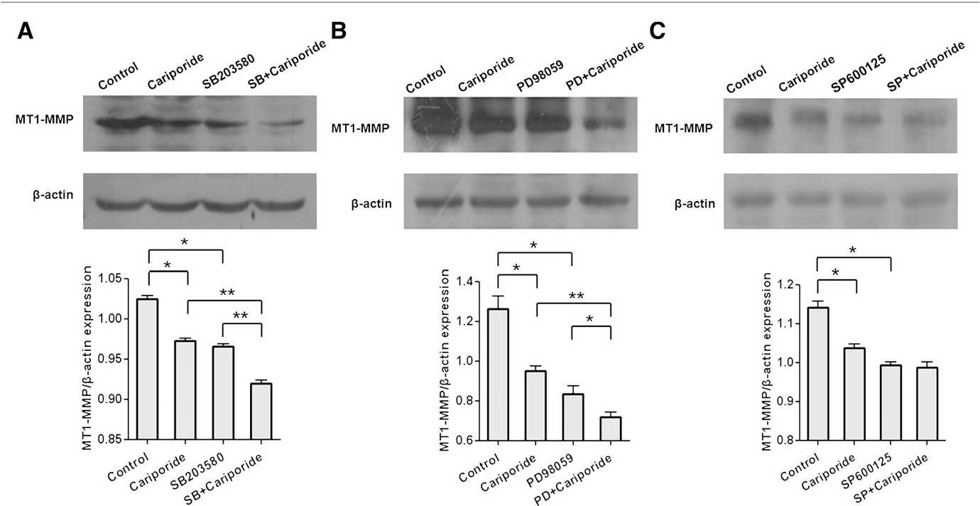 Fig. 7 – Effects of Cariporide andMAPK inhibitors onMT1-MMP expression of MDA-MB-231 cells. MDA-MB-231 cells were treated for 24 h with Cariporide, MAPK inhibitors (p38 MAPK inhibitor SB203580, ERK1/2 inhibitor PD98059, and JNK inhibitor SP600125) and combination of Cariporide and MAPK inhibitors, respectively, as shown in the figure. The protein levels of MT1-MMP were determined by Western blotting. The data represent the mean±SD of MT1-MMP normalized to β-actin for three independent experiments. *P<0.05, **P<0.01.