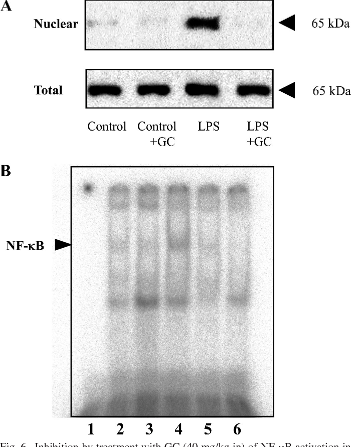 Fig. 6. Inhibition by treatment with GC (40 mg/kg ip) of NF- B activation in lungs from guinea pigs after induction of sepsis with LPS. The nuclear extracts were prepared for analysis of NF- B p65 protein by Western blot (A) and NF- B binding activity by EMSA (B) as described in MATERIALS AND METHODS. In A, no apparent difference in p65 expression in the total fraction among groups is shown. In B, the induced NF- B shift bands are indicated. Lane 1, free probe showed no detection of NF- B binding activity; lane 2, nuclear extracts from control guinea pig lung tissues were incubated with a 32P-labeled NF- B probe; lane 3, nuclear extracts were taken from lungs of the guinea pig at 24 h after GC treatment; lane 4, nuclear extracts were taken from lungs of the guinea pig at 24 h after LPS challenge; lane 5, nuclear extracts were taken from lungs of the guinea pig at 24 h after coadministration of LPS and GC; lane 6, nuclear extracts from lung tissues of septic guinea pigs were incubated with a 32P-labeled NF- B probe in the presence of excess unlabeled NF- B oligonucleotides. Results shown are representative of at least 3 independent experiments.