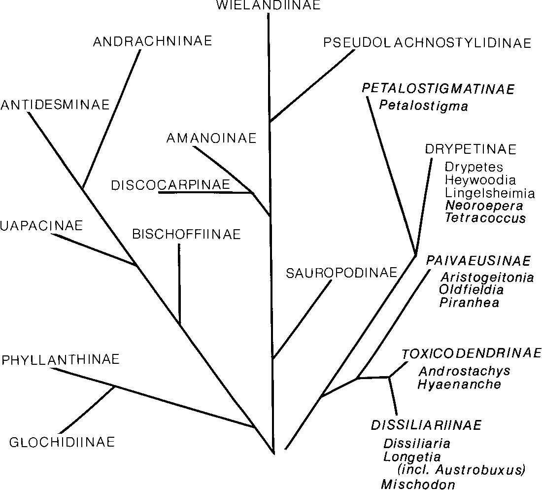 Figure 1 From Systematic Anatomy Of Euphorbiaceae Subfamily