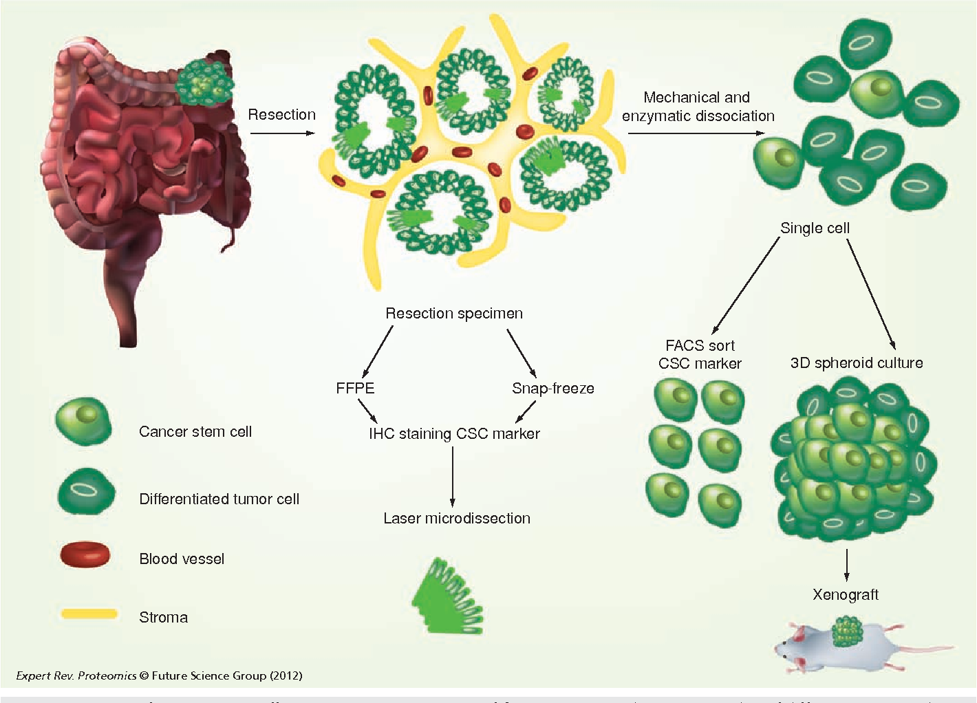 potential cancer stem cell sources as starting material for proteomics   there are