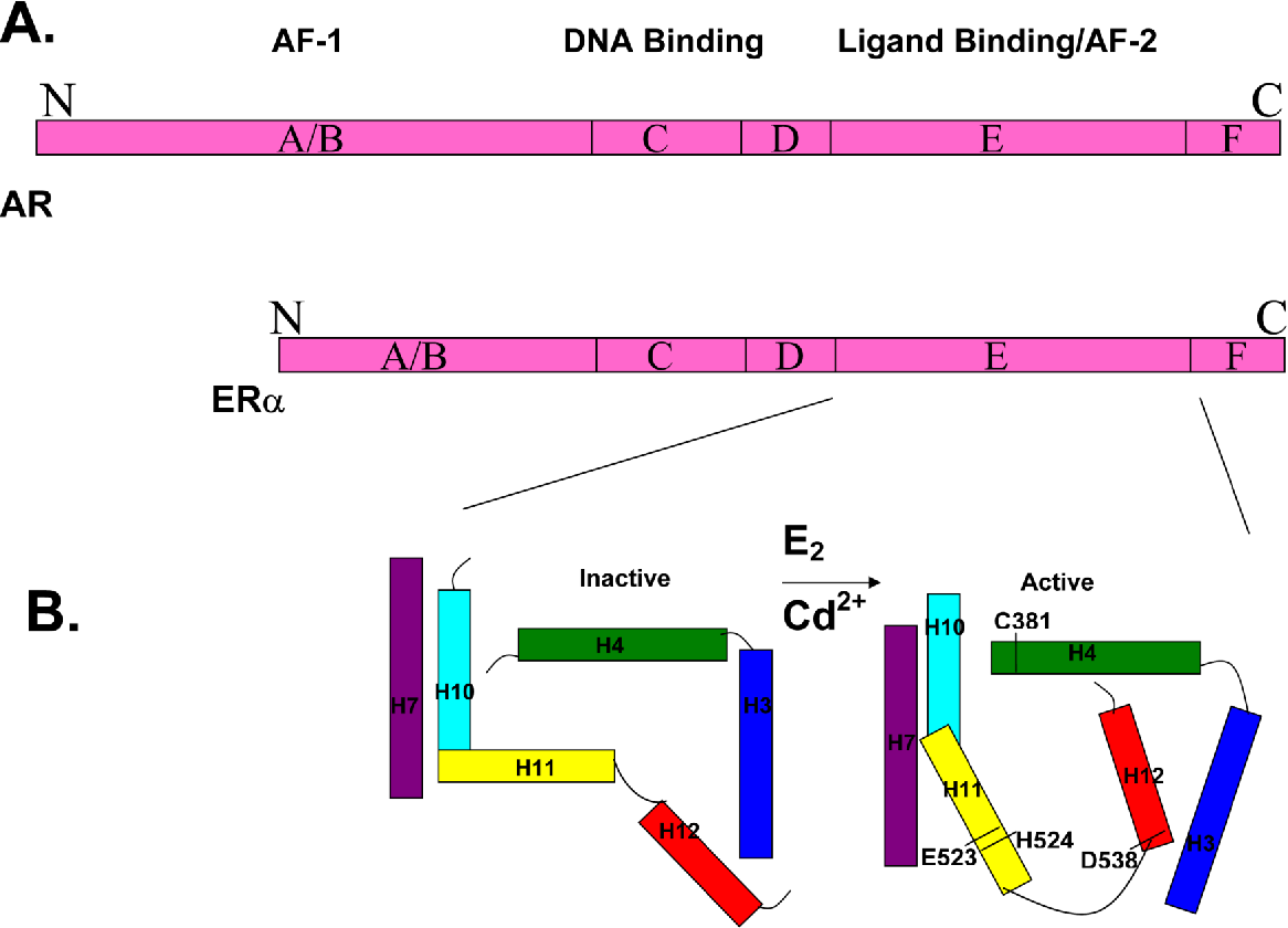 Figure 1. Proposed model for cadmium induced activation of ERα. A. Domain structure of the androgen receptor and estrogen receptor-alpha. Estrogen receptor-alpha (ERα) and androgen receptor (AR) are divided into domains, termed A through F. The N-terminus of the receptor contains the A/B region which is a variable region that modulates transcription through a domain referred to as activation function-1 (AF-1). The DNA binding domain, region C, is a short well conserved cysteine rich region that contains two zinc fingers. In addition to DNA binding, region C plays a role in transactivation and dimerization. The C-terminus of the receptor contains regions D, E, and F. Region E is the ligand binding domain that contains the hormone inducible dimerization and activation function-2 (AF-2) domains. The ligand binding domain of ERα contains 11 alpha helices (H1, H3-H12) folded into a three layered antiparallel alpha helical sandwich surrounding the ligand binding pocket. B. Schematic model of helices H3, H4, H7 and H10-H12 of the ligand binding domain of ERα. In the absence of estradiol (E2), the ligand binding domain is in an inactive state. It has been proposed that, in the inactive state, the ligand binding domain of ERα is an open state with helix H10 and helix H11 in a perpendicular conformation and helix H12 positioned away from the ligand bind pocket. Upon estradiol binding, the dimerization domain of the receptor is formed by the rotation of helix H11 and the formation of a continuous bent helix with helix H10. The coactivator binding site is formed when helix H12 is repositioned under helix H4 closing the ligand binding pocket. It is proposed that, upon cadmium binding to amino acids C381, E523, H524 and D538 in the ligand binding domain, ERα undergoes similar structural changes to form the active state of the receptor.