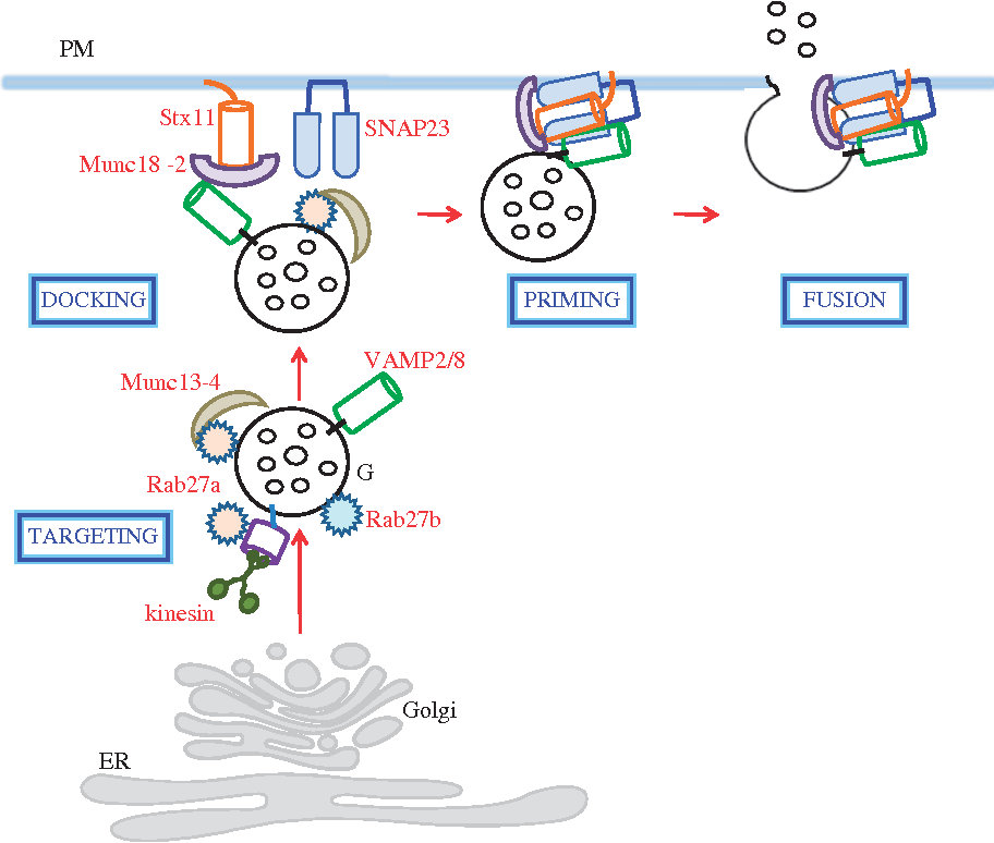 A Unique Snare Machinery For Exocytosis Of Cytotoxic Granules And