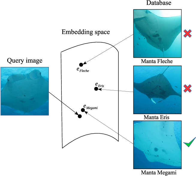 Figure 1 for Robust Re-identification of Manta Rays from Natural Markings by Learning Pose Invariant Embeddings