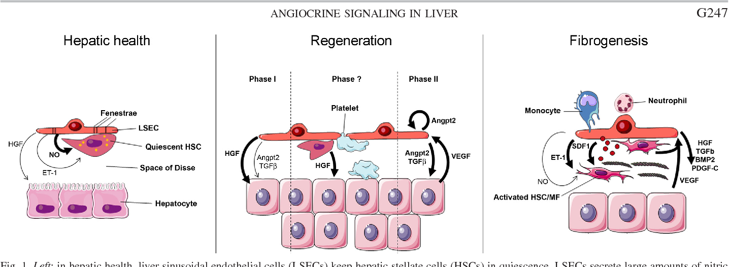 Referenced In Angiocrine Signaling In The Hepatic Sinusoids In