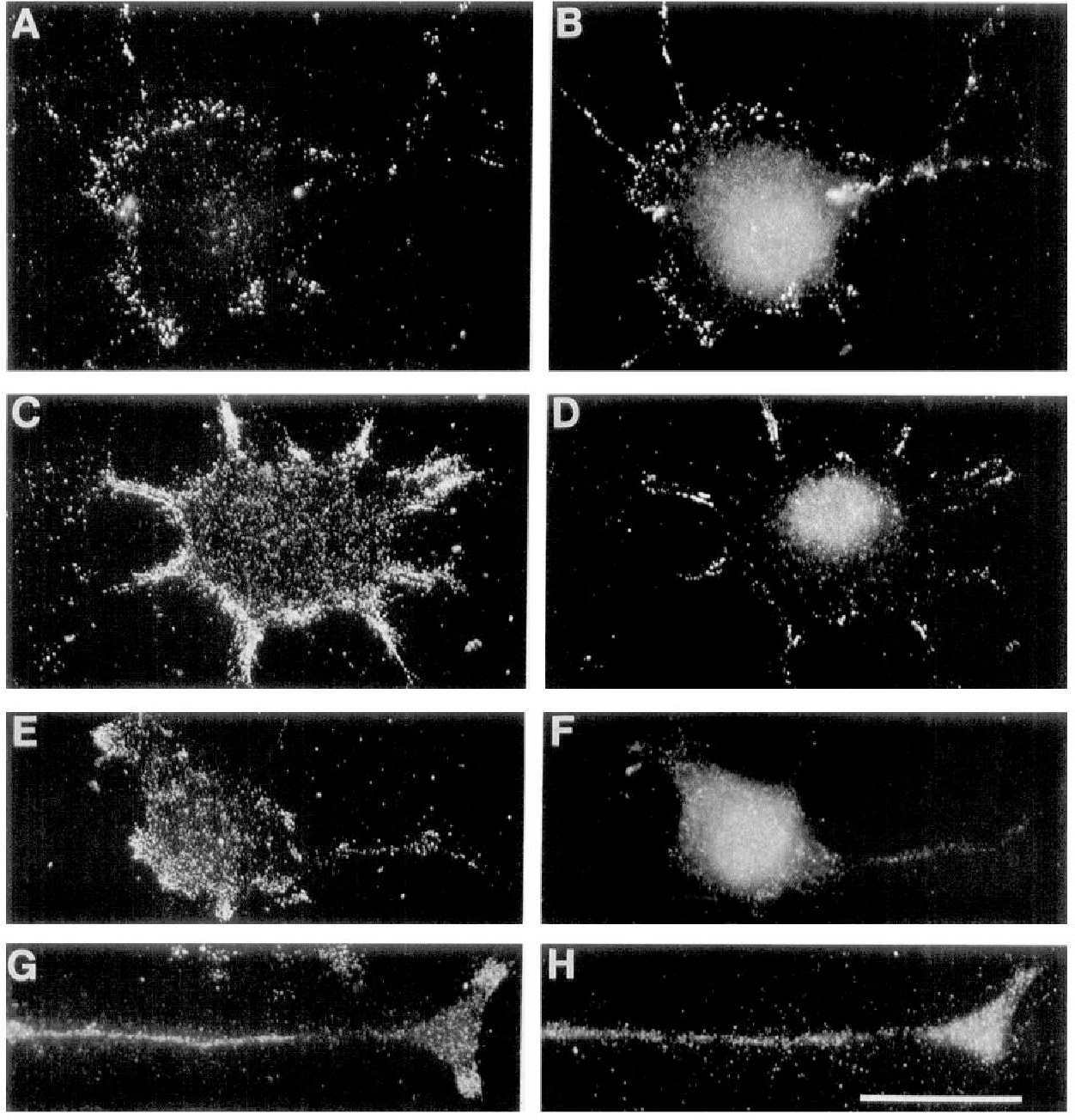 Figure 7. Distribution of pl integrin, talin, and vinculin in cytoskeletal ghosts: double immunofluorescence using the anti-81 (4, C, E, and G) and anti-vinculin (B and D) or anti-talin (F and H) antibodies. Note the codistribution of 81 and vinculin in point contacts at the cell margin and neurite tips, but an absence of colocalization in the central region of the cell. Talin shows a reciprocal pattern to vinculin, but there is not obvious colocalization with 81 in point contacts. Scale bar, 20 pm.