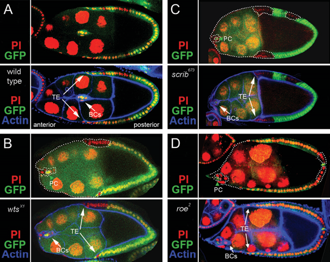 Figure 7.—Analysis of wts, scrib, and roe border cell migration. (A) A stage-9 egg chamber from the wtsx1 clonal analysis experiment without a clone (GFP is expressed in all follicle cells). The follicle cell nuclei are marked with propidium iodide (red), and the actin cortexes with phalloidin (blue). The border cell cluster (arrow) migrates in sync with the trailing edge of the follicular epithelium (TE, arrows). (B) wtsx1 clone in a stage-9 egg chamber (follicle cells without GFP, white dotted outline). The border cell cluster (arrow) remains at the anterior of the egg chamber, while the TE has almost completed migration (arrows). The two nonclone cells marked with GFP at the center of the border cell cluster are the polar cells, which help to organize the cluster and are carried along by the border cells, but do not actively migrate (Szafranski and Goode 2004). (C and D) scrib673 and roe2 clones in stage-9 egg chambers. scrib673 border cell clusters (arrow) remain at the anterior of the egg chamber, while the TE has almost completed migration (arrows). roe2 has a similar, but less severe phenotype, in which the border cells typically start to migrate when the TE has moved about halfway to the oocyte.