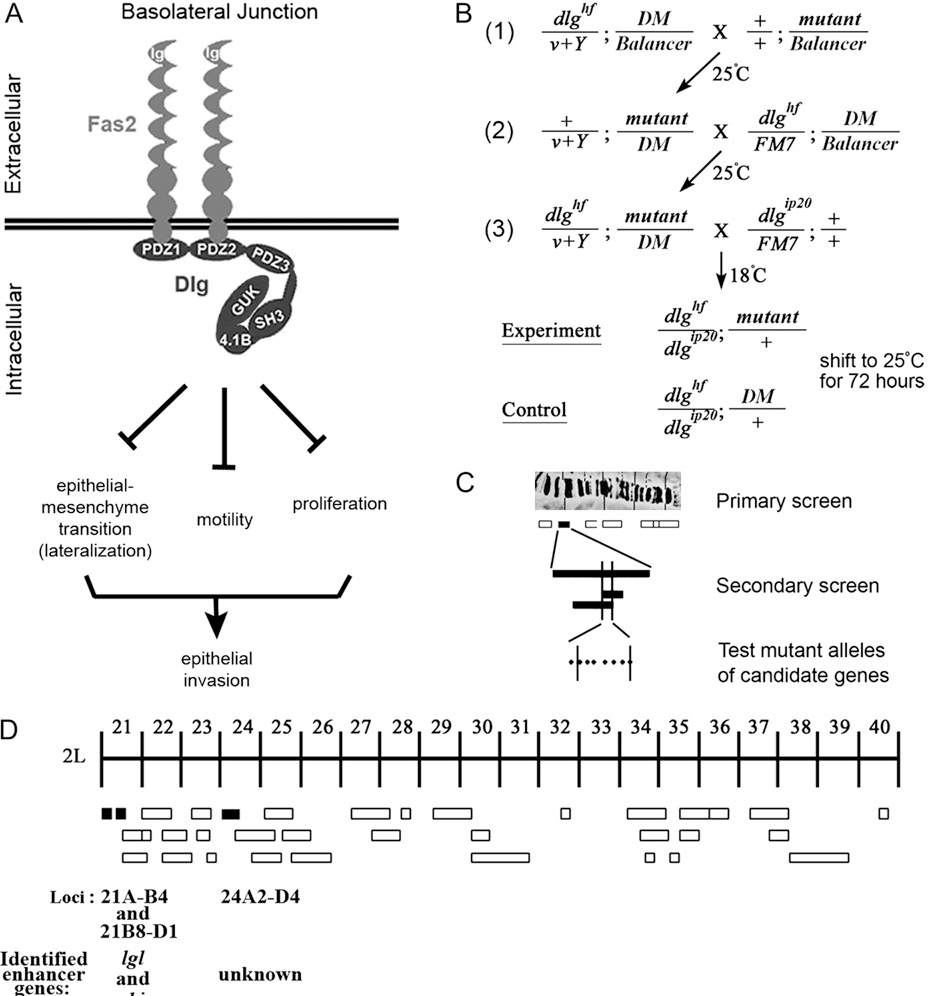 Figure 1.—Summary of the dlg enhancer screen. (A) Model of the BLJ. Transmembrane Fas2 and scaffolding Dlg repress tumor growth and invasion (Szafranski and Goode 2007). They repress three genetically separable activities, EMT, motility, and proliferation. EMT results in membrane lateralization (see text for discussion). (B) Cross scheme to identify dlg enhancers on the second and third chromosomes. A dominant marker (DM) gene, typically Gla on the second chromosome, or Dr on the third chromosome, was used to follow segregation of mutant chromosomes. The Balancer on the first chromosome was FM7a, on the second chromosome was Cyo, and on the third, TM3, Sb. In the first cross, v1Y is an insertion onto the Y chromosome of a fragment of the X chromosome that covers the dlg locus ½10B6-10 . v1Y is introduced into the background of each mutant (cross 2, 1/v1Y; mutant/DM) to rescue dlghf lethality in dlghf/v1Y; mutant/DM flies in cross 3. The third cross was completed at 18 , the dlghf/dlgip20 permissive temperature, to bypass dlg lethality. Experimental and control animals were recovered at 18 , then shifted to 25 for 72 6 2 hr. The same scheme was used to construct dlghf/dlgsw; mutant/1 and dlghf/dlglv55; mutant/1 animals (see text). (C) The screen was completed in three phases. In the primary screen, we used a panel of deletions that uncover most autosomal regions (Bloomington deficiency kit, http://flybase.bio.indiana.edu/). In the secondary screen, we further tested each region that enhanced dlg invasion with additional deletions, to confirm or rule out the enhancing interaction and to refine the position of the interacting locus. Finally, we tested mutations located within the delineated locus to identify the enhancing gene. (D) Schematic summary of the primary screen. The figure shows 178 deficiencies assayed in the primary screen. The deficiencies uncover the genetic regions indicated by the width of the boxes. Deficiencies that scored 100% invasion are solid boxe