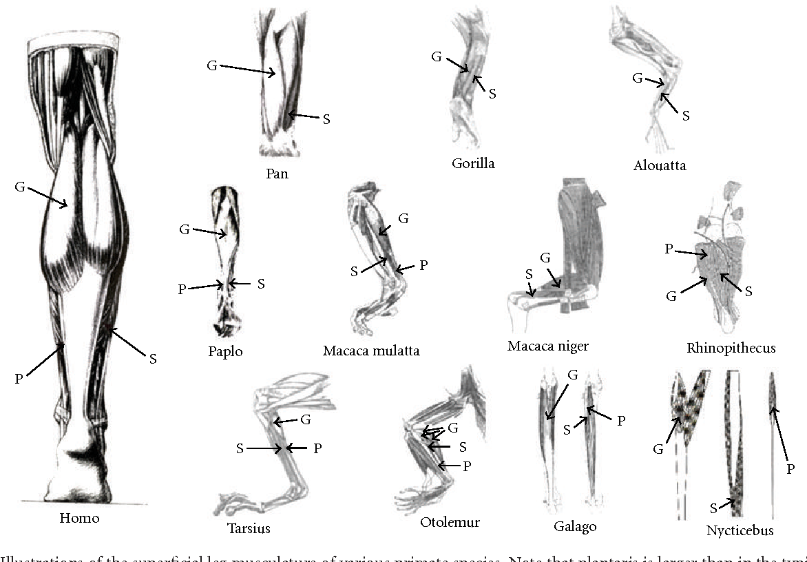 Comparative Triceps Surae Morphology in Primates: A Review ...