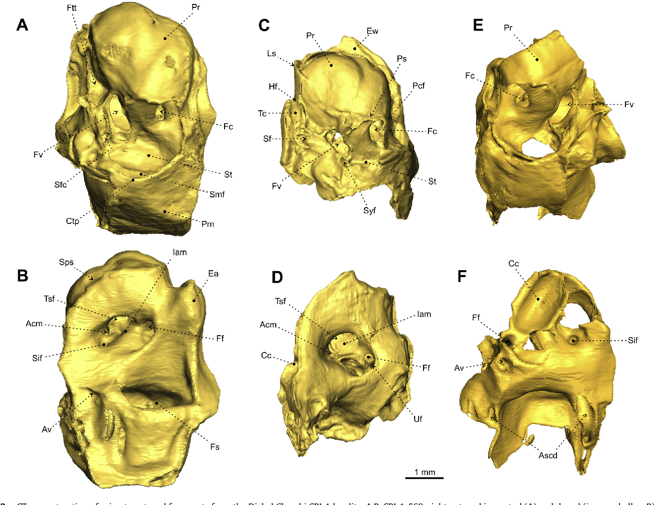 New insights into the ear region anatomy and cranial blood supply of ...