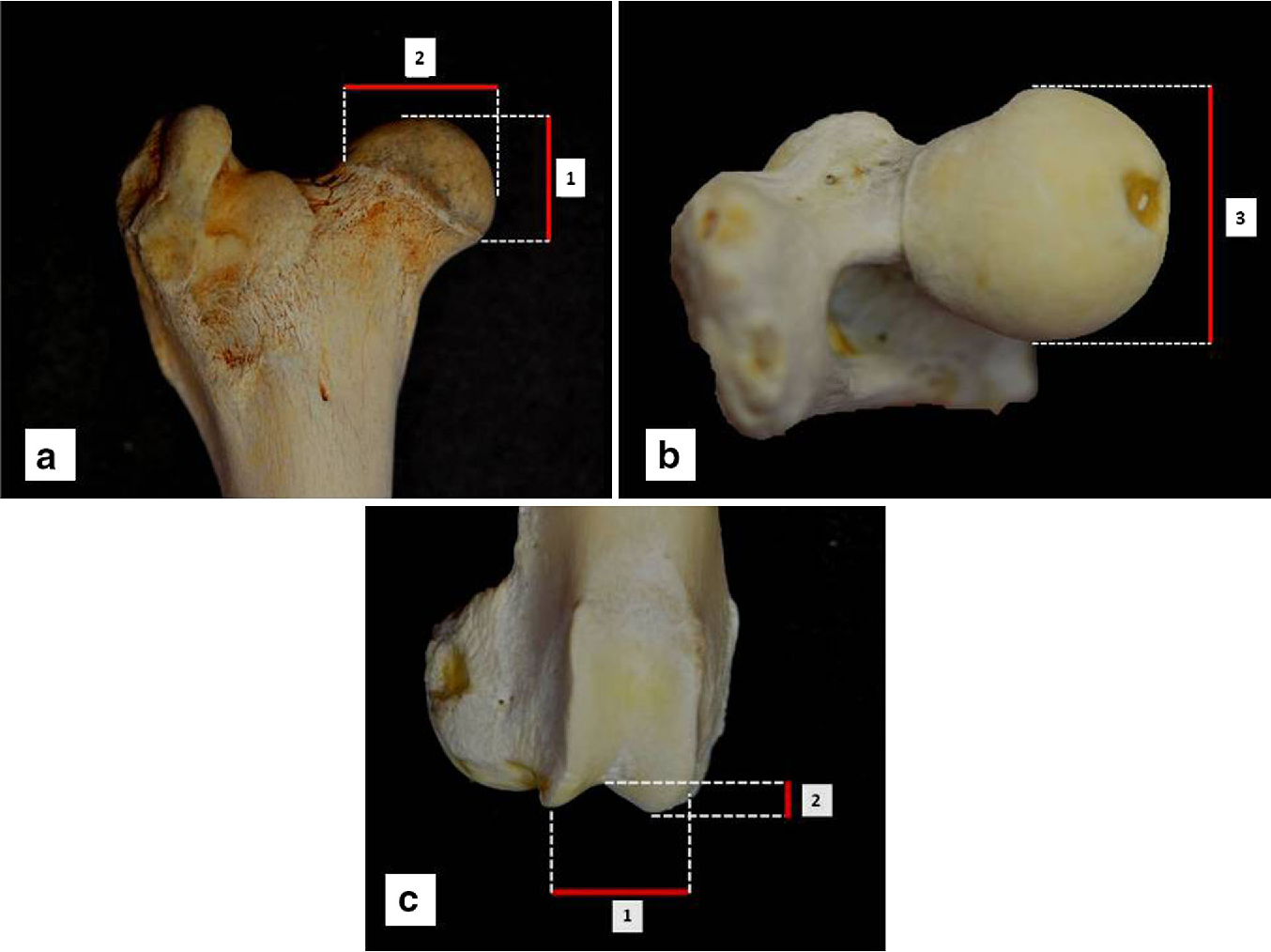 Figure 2 from Differences in femoral morphology between sheep (Ovis ...