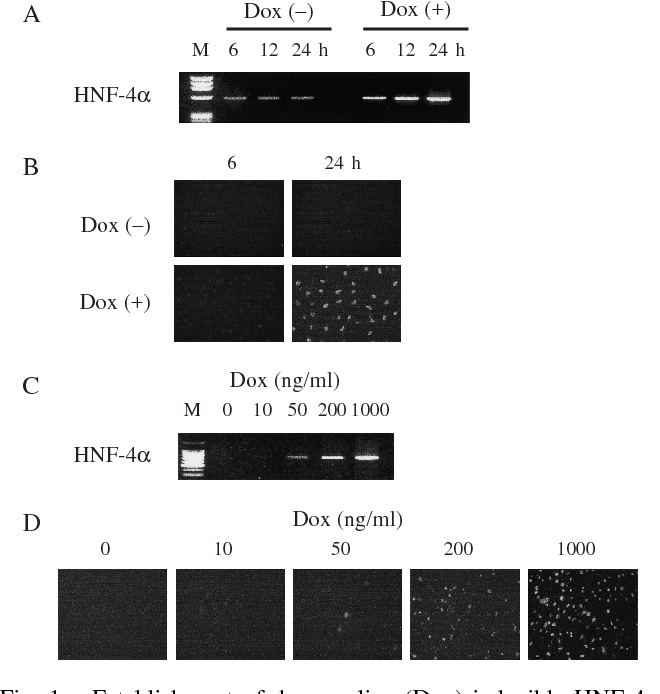 Figure 1 from Hepatocyte Nuclear Factor (HNF)‐4α Induces