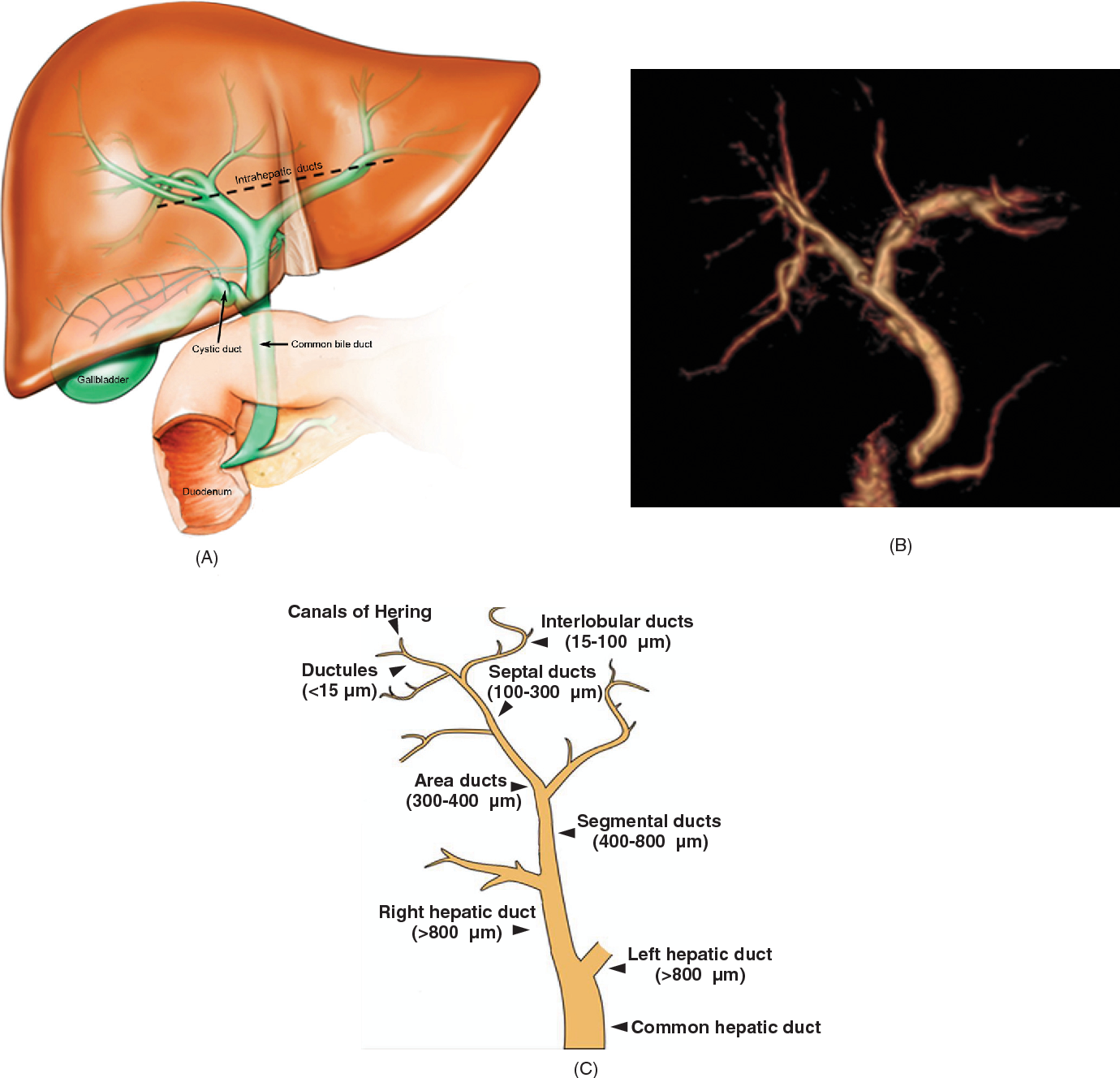 Figure 1 from Physiology of cholangiocytes. - Semantic Scholar
