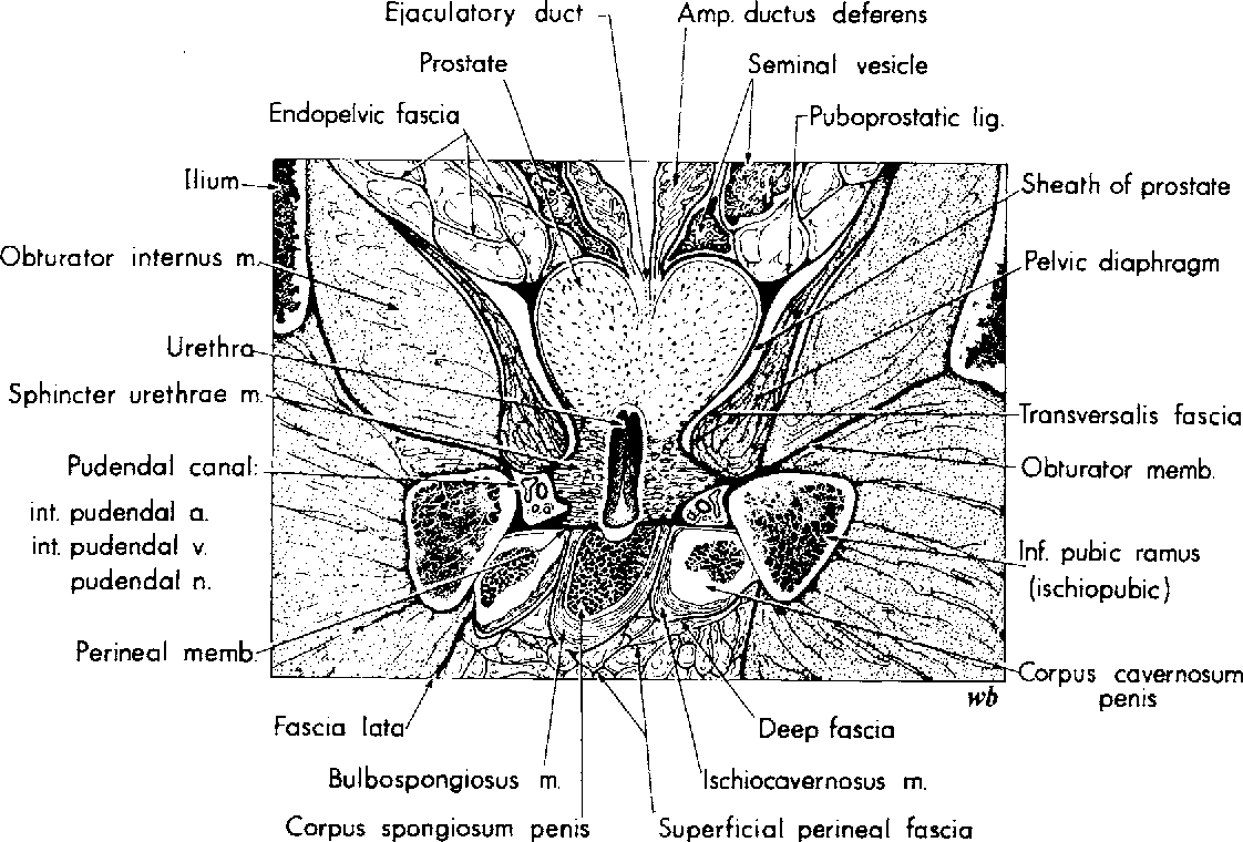 Figure 34 From The Urethral Sphincter Muscle In The Male Semantic