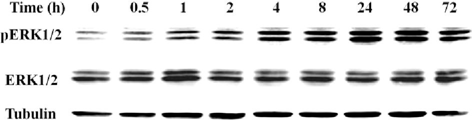 Figure 5. SNU449 cells were treated with 4.5 μmol/l of Mibefradil for various time-points from 0 to 72 h. Cell lysate proteins were detected for pERK1/2, ERK1/2 and tubulin expression by Western blotting.