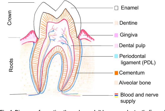 Dentine Tooth Enamel Diagram Circuit Connection Diagram