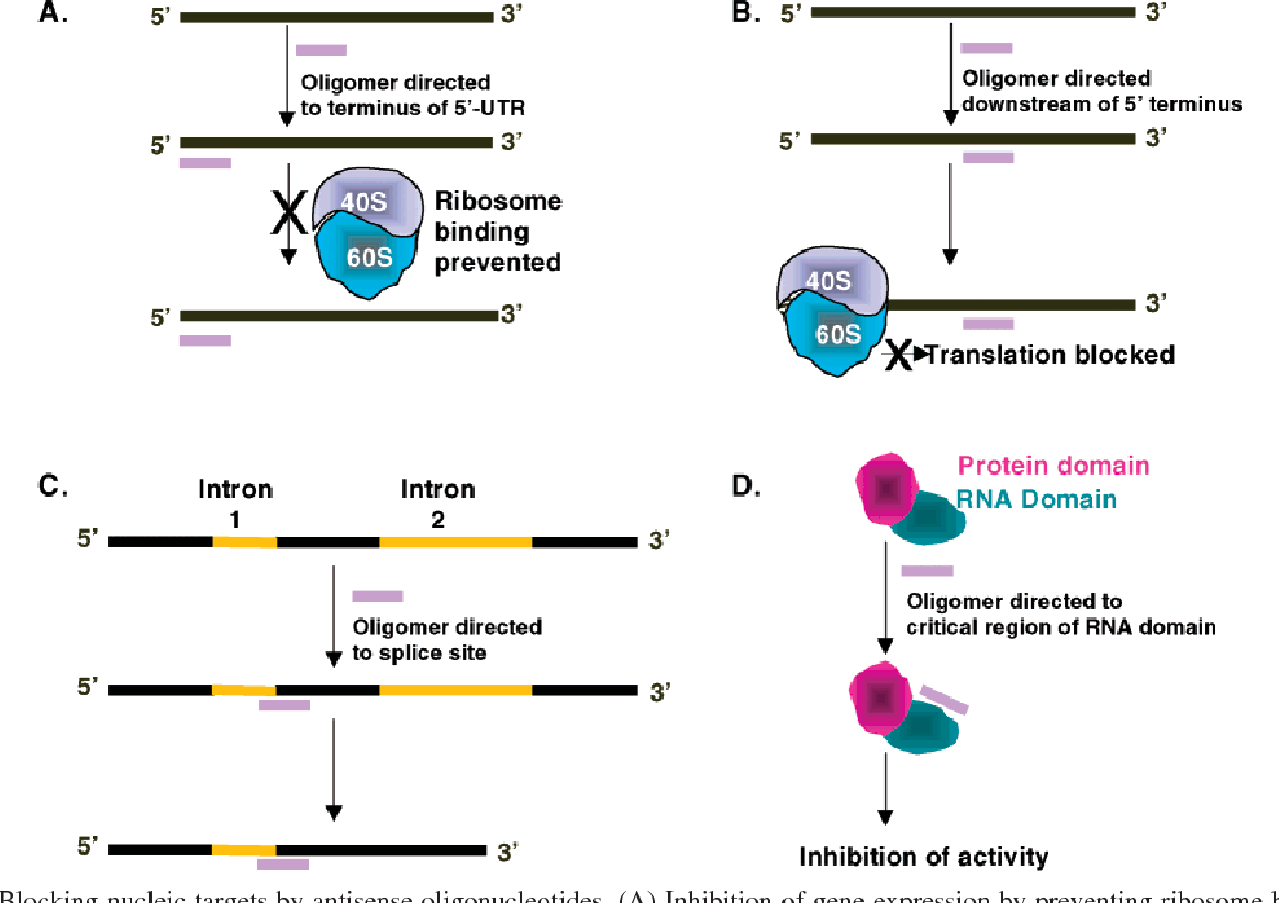 FIGURE 2: Blocking nucleic targets by antisense oligonucleotides. (A) Inhibition of gene expression by preventing ribosome binding. (B) Inhibition of gene expression by preventing translocation of the ribosome. (C) Alteration of splicing. (D) Inhibition of ribonucleoprotein activity.
