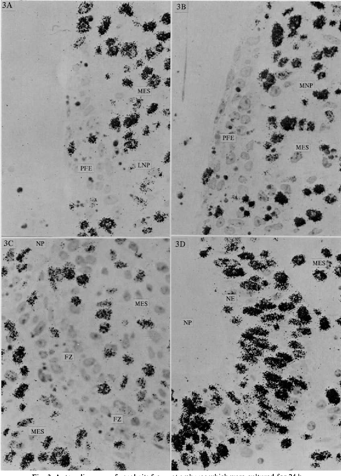 Fig. 3. Autoradiograms of nasal pits from rat embryos which were cultured for 24 h, and exposed the last hour of culture to 10/tCi/ml of [3H]thymidine. In (A) and (B) significantly less labeling is observed in the presumptive fusion epithelium of the lateral and medial-nasal processes, when compared to adjacent nasal epithelium (D) and underlying mesenchyme. Few cells in the fusion zone (C) are labeled when compared to underlying mesenchyme. LNP, lateral-nasal process; MNP, medial-nasal process; PFE, presumptive fusion epithelium; NE, nasal epithelium; MES, mesenchyme; NP, nasal pit; FZ, fusion zone, x 860.
