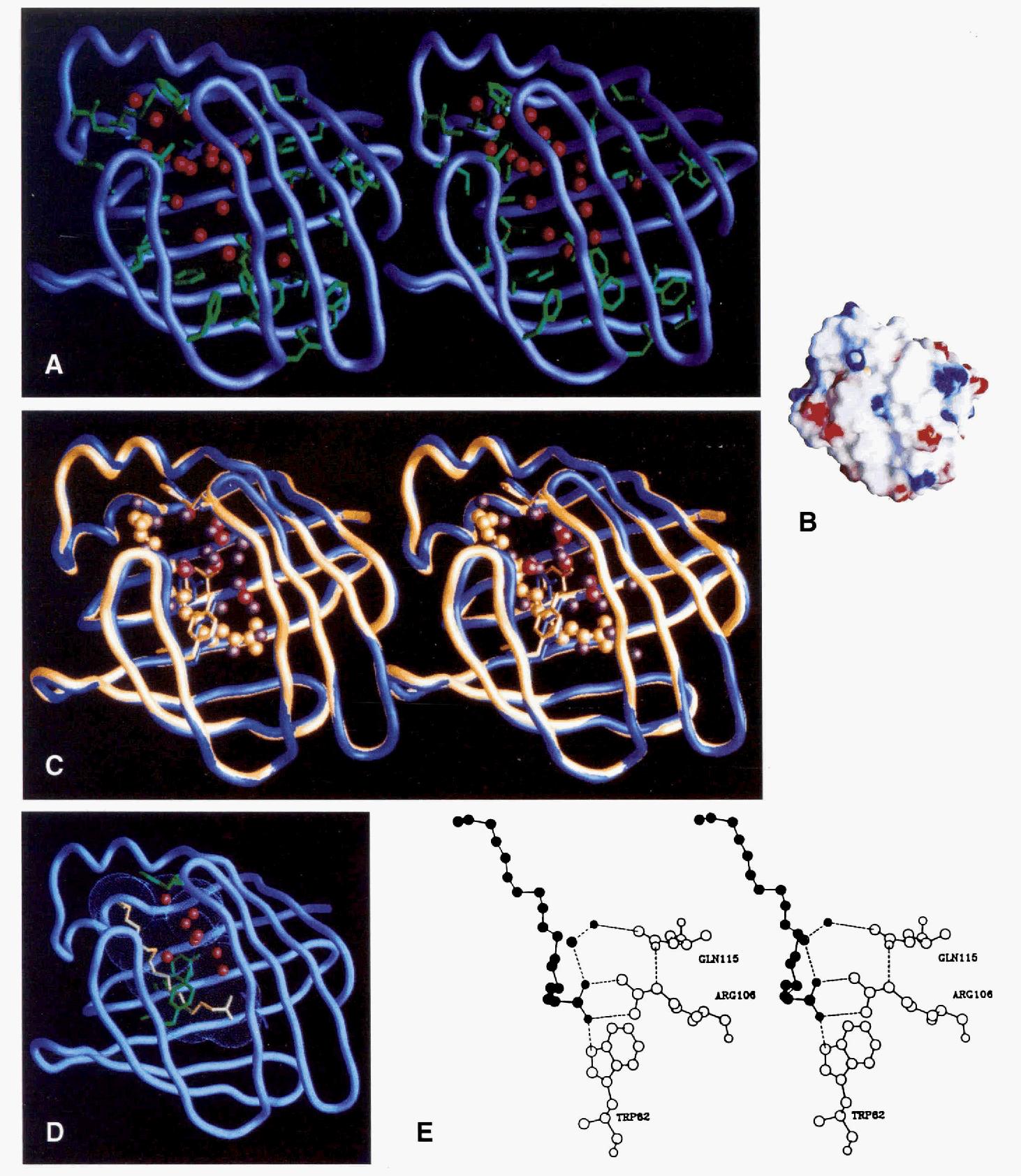 Figure 1 from Rat intestinal fatty acid binding protein. A model ...