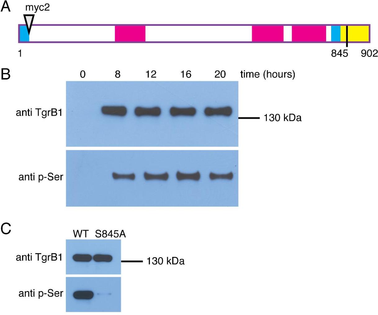 Figure 4. Phosphorylation of TgrB1 on Serine 845