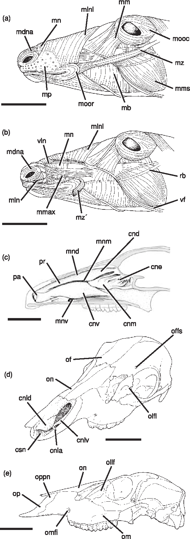 Figure 8 from Case studies in novel narial anatomy : 2 . The ...