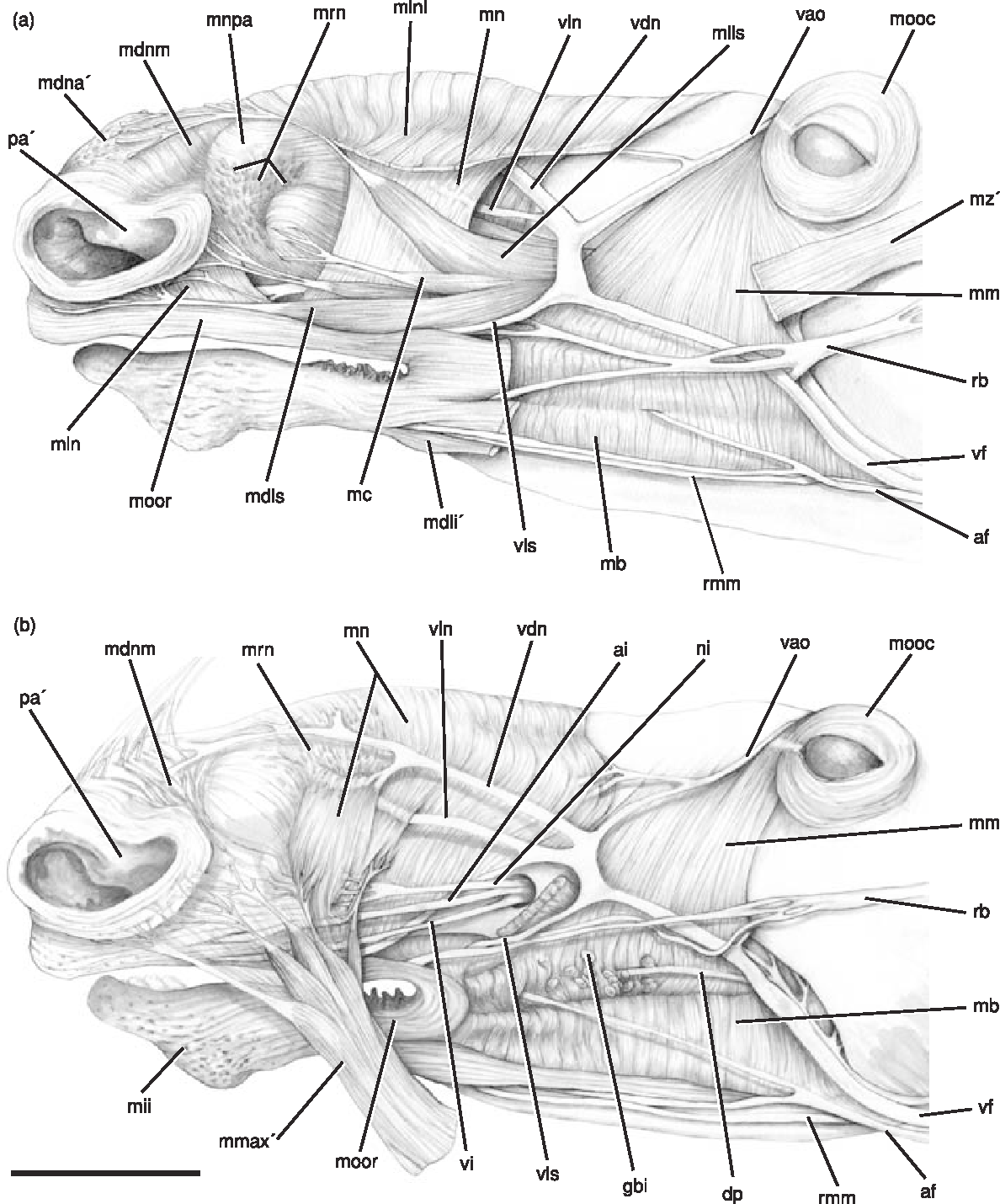 Figure 4 from Case studies in novel narial anatomy : 2 . The ...